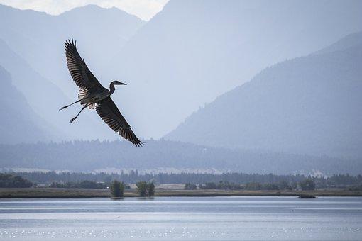 Heron, Flying, Wildlife, Refuge, Ninepipe, Montana