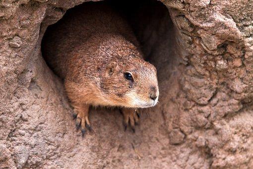 Marmot, Cave, Cute, Rodent, Animal World, Fur, Zoo
