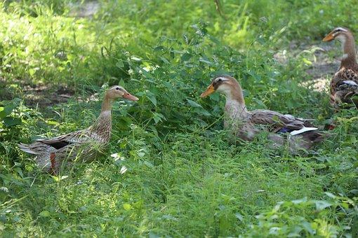 Friendship, Talking Ducks, Greenfield, Backyard, Grass