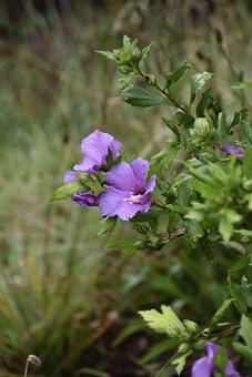 Flower Hibiscus, Hibiscus Purple Color, Shrub