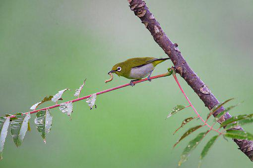Wild Birds, Japanese White-eye, Tropical, Foraging
