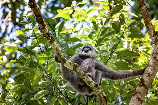 Wild Animals, Javan Gibbon, Monkey, Endangered Species