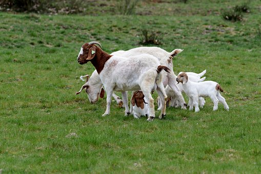 Goats, Kids, Spring, Mammal, Feed, Drinking, Nature