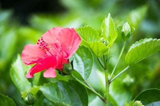 Flowers, Nature, Landscapes, Hibiscus Flowers