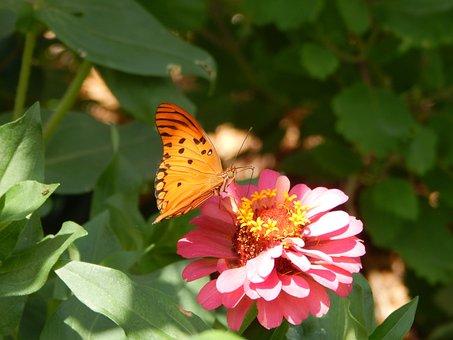 Butterfly, Flower, Orange Butterfly, Lepidopteran