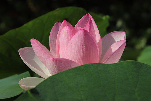 Lotus, Lotus Flower, Lotus Leaves, Water Plants, Exotic