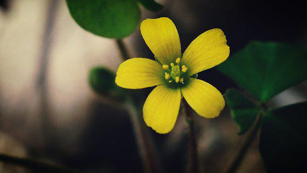 Creeping Woodsorrel, Flower Head, Yellow Flower, Macro