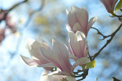 Hell, White, Pink, Magnolia, Tree, Branch, Nature, Sun