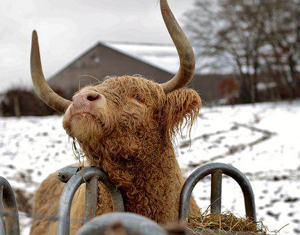 Cow, Scottish Highlander, Long-haired, Mammal, Animal