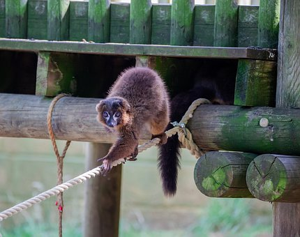 Red-bellied Lemur, Endangered, Lemur, Mammal, Primate