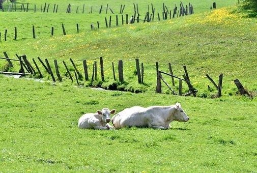 Cow, Calf, Pasture, Rest, Meadow, Herkauwer, Grassland
