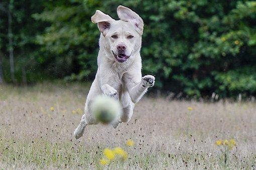 Labrador, Retriever, Racing, Play, Happy, Merry
