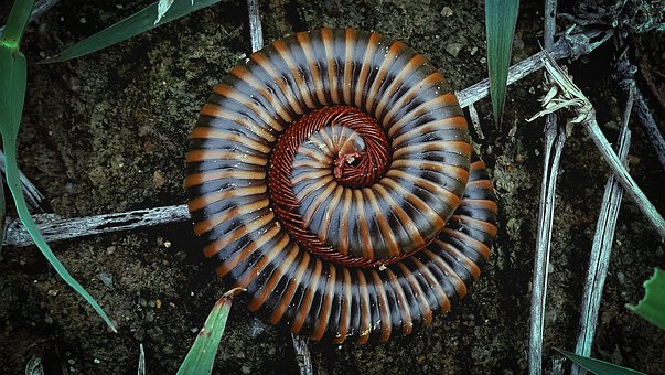 Millipede, Spiral, High Angle View, Animal