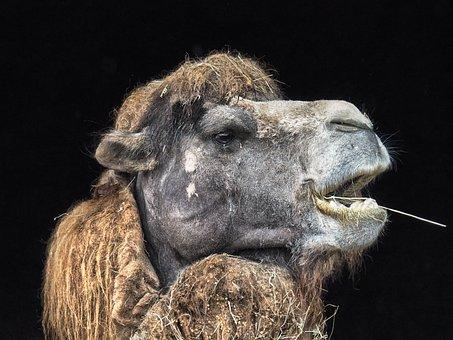 Camel, Nature, Cabárceno, Park, Portrait, Zoo