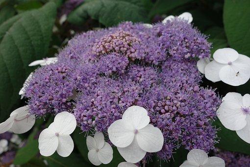 Hydrangea, Purple, Flowers, Plant, Nature, Summer