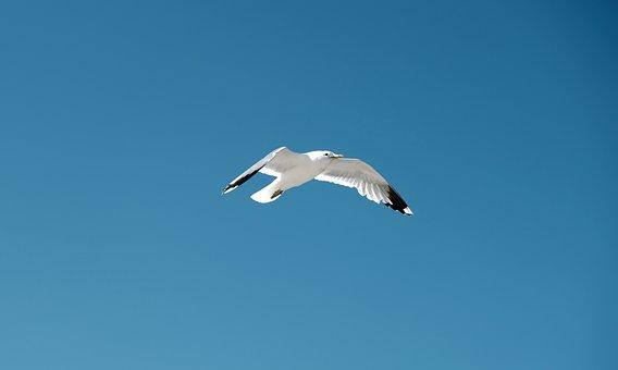 Seagull, Bird, Blue Sky, Sea, Flight, Nature, Animal
