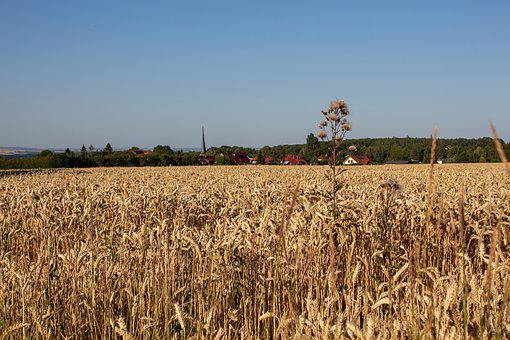 Field, Corn, Summer, Nature, Sky, Harvest, Rural