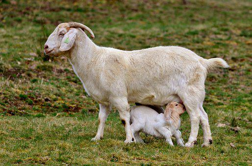 Goat, Kid, Mammal, Young, Newborn, Mother-goat