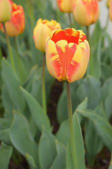 Yellow, Orange Tulips, Flowers, Colorful, Multi-colored