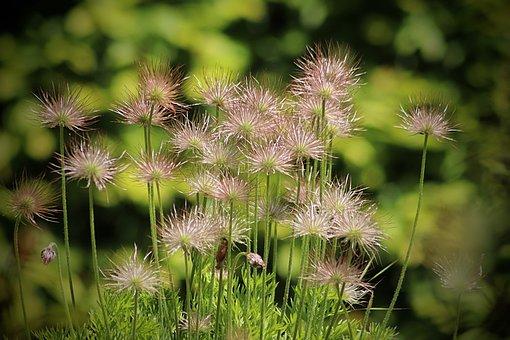 Pasqueflower, Pasque Flower, Ordinary