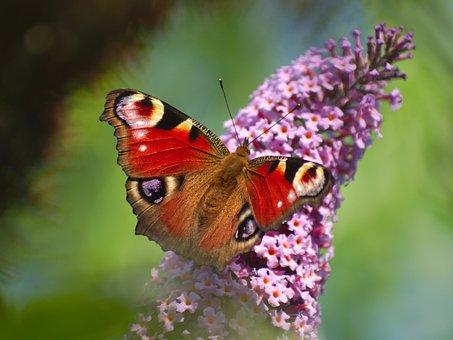 Peacock Butterfly, Flower, Butterfly, Summer, Peacock