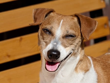 Dog, Laugh, Jack Russel, Pet, Happy, Cute, Charming