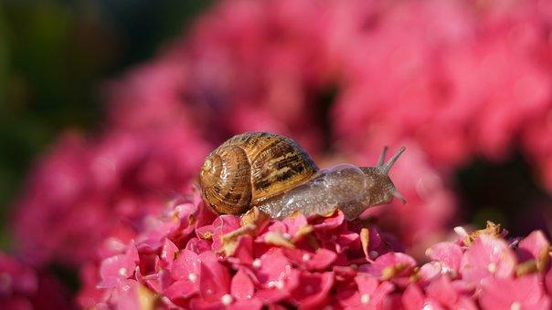 Snail, Background, Pattern, Hydrangea Flowers, Pink