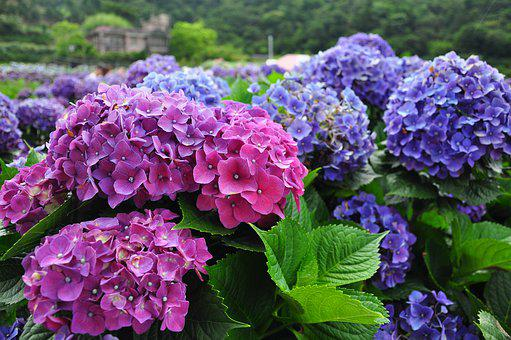 Purple, Nature, Plant, Garden, Blue, Pink, Bloom