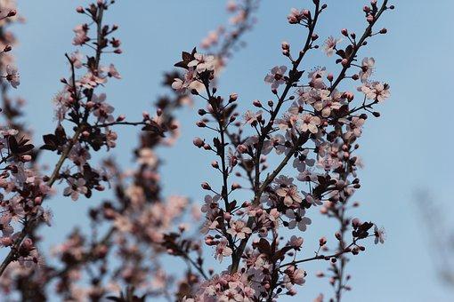 Flowering Plum Tree, Pink Flowers, Petals, Delicate