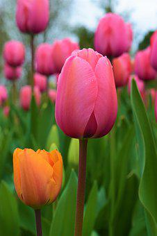 Orange, Pink Tulips, Flowers, Fields, Nature, Spring
