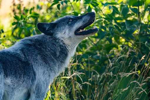 Howling Wolf, Canadian Timber Wolf, Wolf, Predator
