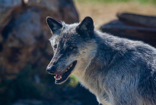 Canadian Timber Wolf, Wolf, Predator, Carnivore, Animal