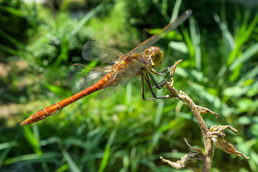 Darter Sympetrum, Dragonfly, Red, Insect, Wing