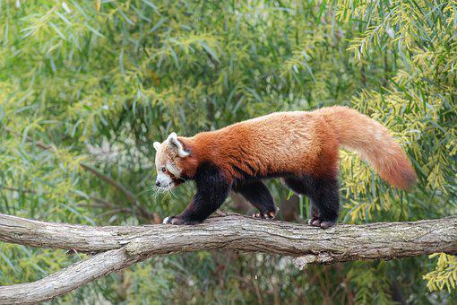 Red Panda, Lesser Panda, Red Bear-cat, Red Cat-bear