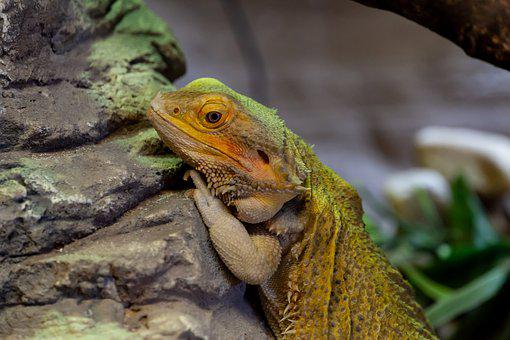 Bearded Dragon, Australian Dragon, Reptile, Australian