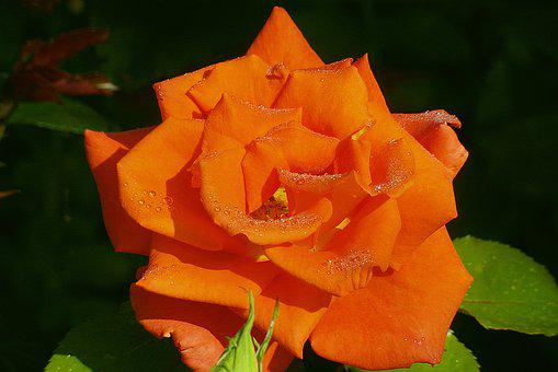 Rose, Flower, Orange, Rosa, Drops Of Water, Garden