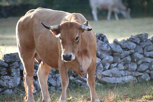 Cows, Ruminants, Farm Animals, Breeding, Agriculture