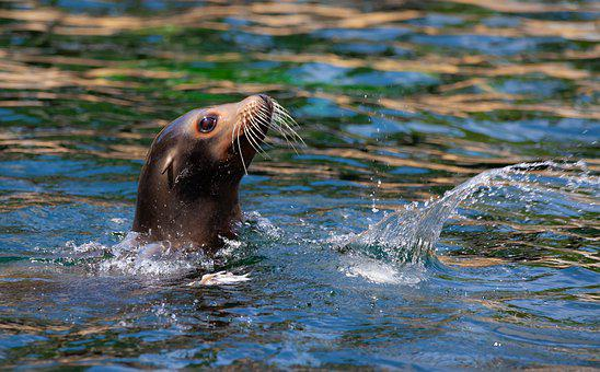 Sea Lion, Sea Lion In Water, Female Sea Lion, Zoo