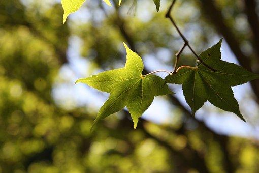 Maple Leaf, Leaf, Nature, Maple, Tree, Season, Summer