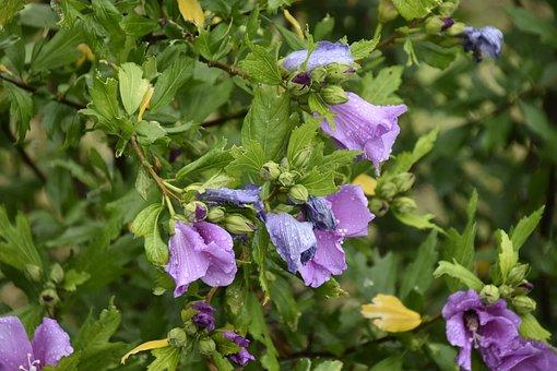 Shrub, Shrub Flower, Hibiscus, Green Leaves, Flowering