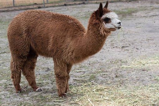 Alpaca, Animal, Mammal, Wool, Camelid, South American