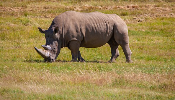 Southern White Rhino, White Rhinoceros, Rhino, Wildlife