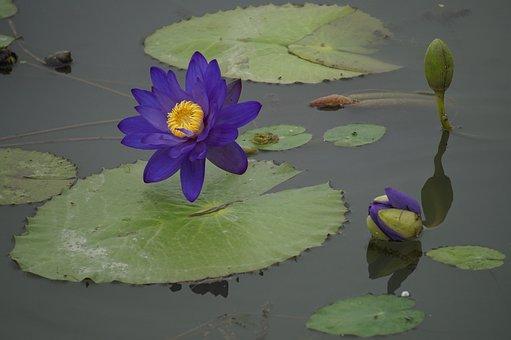 Lotus, Summer, Flowers, Plants, Water Lilies, Bees