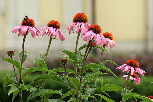 Purple Coneflower, Flowers, Pink, Echinacea, Summer