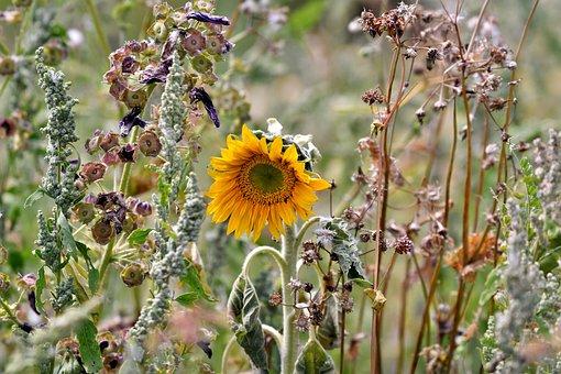 Sunflower, Heat Wave, Drought, Summer, Petals, Flower