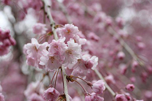 Weeping Cherry Blossom, Tree, Flowering