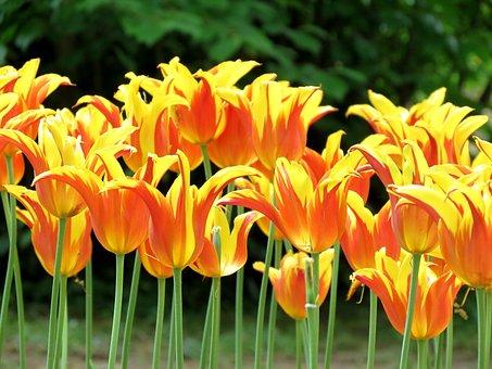 Tulips, Parrot, Bright, Garden