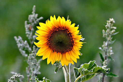 Sunflower, Flower, Petals, Vegetable, Flowering, Yellow