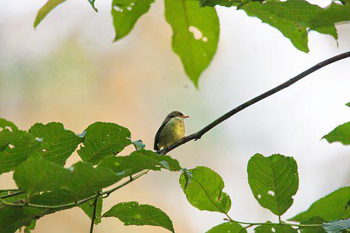Wild Birds, Small, Tropical, Flycatcher Kind