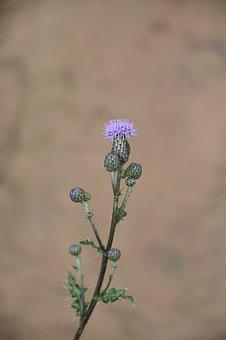 Thistle Flower, Green Leaves Spicy, Wild Flowers